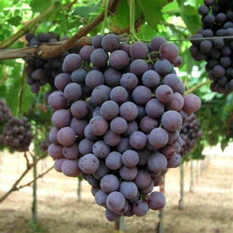 uva nera da tavola uva da tavola nera quot francese quot vaso 216 19cm vendita