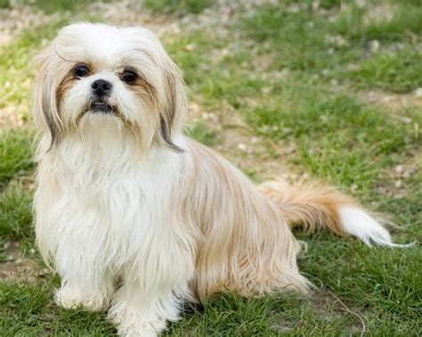 shih tzu in 50 most beautiful shih tzu dogs for home golfian