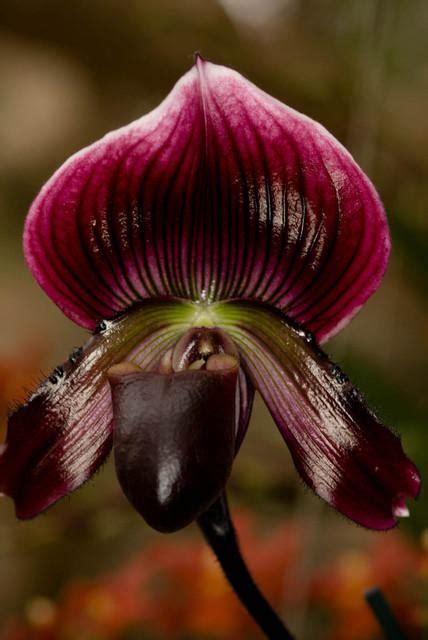 purple slipper orchid purple and black slipper orchid