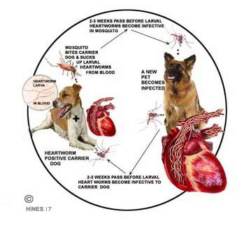 heartworm in dogs what to do when your has heartworms