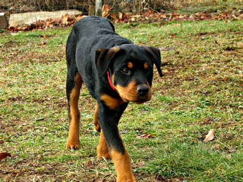 average expectancy rottweiler 11 facts you should about rottweiler planet fauna