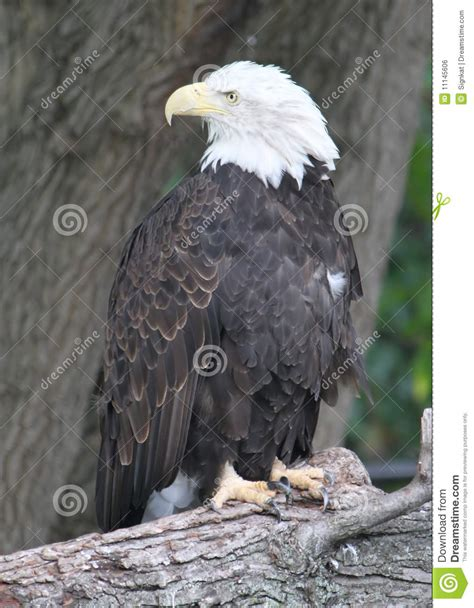 American Bald Eagle Looking Back Stock Photo Image 11145606 Bald Eagle Back