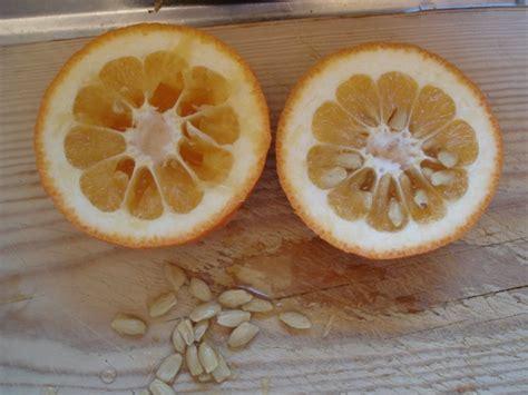 Pusatnya Benih Dan Bibit bibit bunga benih jeruk mandarin manis daftar harga
