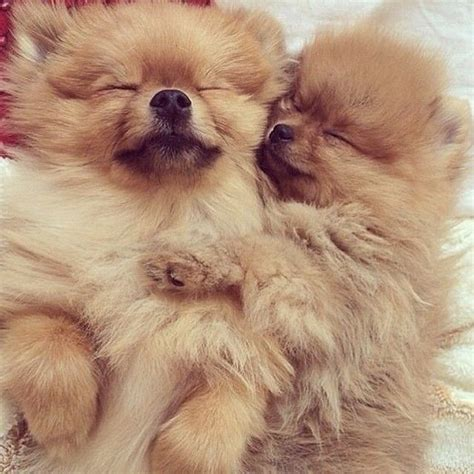 sleeping pomeranian 83 best images about pom poms on costumes pom poms and teacup