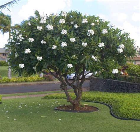 plumeria tree florida diggin florida dirt say aloha to summer blooming plumeria