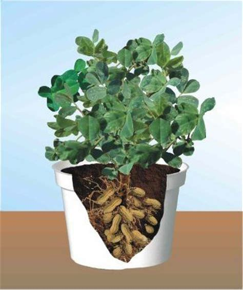 how to grow peanuts an easy guide for gardening beginners the garden of eaden how to grow peanuts gardening tips
