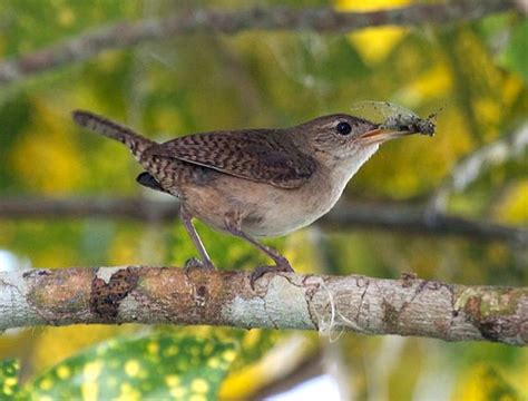 house wren 187 bird watcher s digest