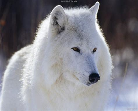 wallpaper google chrome wolf wolf hd wallpaper android apps auf google play