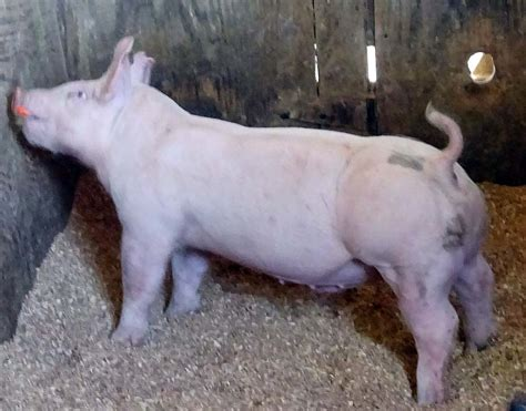 show pugs for sale gallery of show pigs for upcoming sale land of promise farms