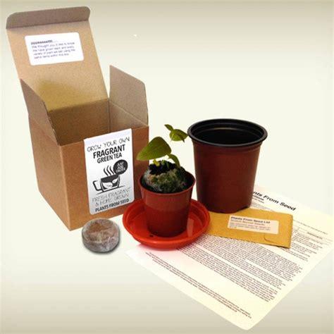 Kit Green Tea Original grow your own green tea plant kit all things brighton