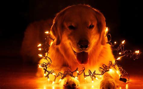 dog christmas light desktop background hd 2560x1600