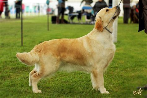list of golden retriever breeders golden retriever hair golden retriever summer haircut for margaret is