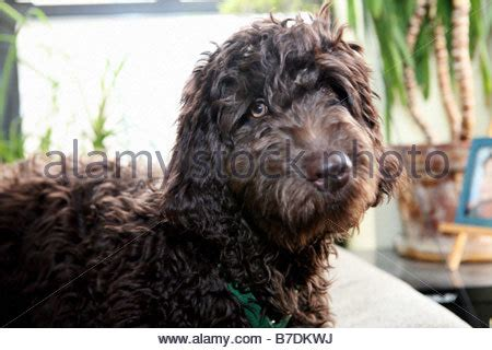 brown portuguese water a chocolate brown portuguese water labradoodle sits patiently stock photo