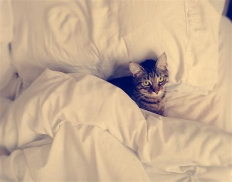 Why Do Cats On Beds by Why Do Cats Sleep Where They Do Catster