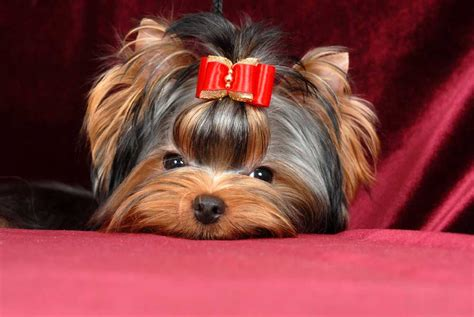 yorkie puppy shoo photo album for terrier mini shop tamagochi
