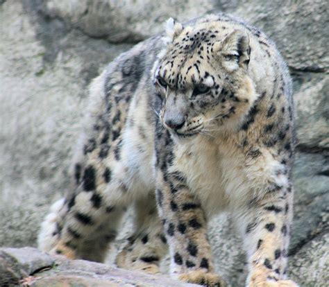 macbook pro 1 1 snow leopard file snow leopard 1 jpg wikimedia commons
