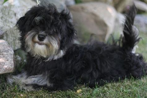 havanese breed temperament all small dogs havanese wallpaper