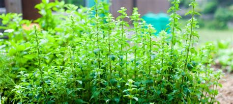 oregano for dogs benefits of oregano for your protection protection dogs