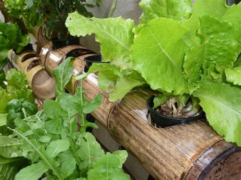decorative lettuce plants 50 best images about hydroponics on pinterest gardens