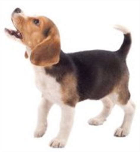 beagle puppy barking beagle barking the barks and howls of this breed