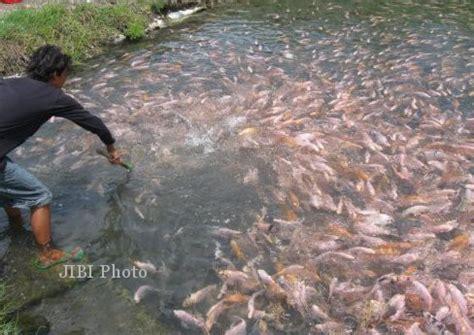 Bibit Ikan Gurame Kudus perikanan kudus targetkan sertifikat bibit nila semarang