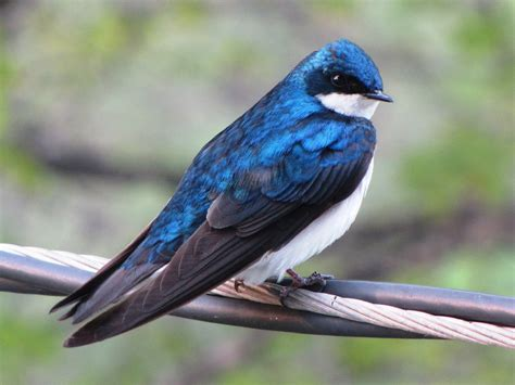 tree swallow bird our more common species of swallow