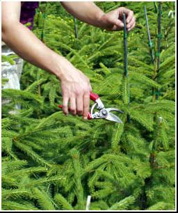 christmas tree care scottish christmas trees