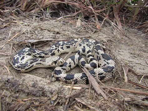 The Watcher In The Pine northern pine snake pituophis melanoleucus found this