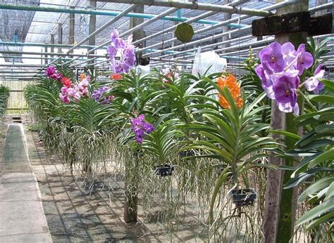orchid plant phalaenopsis orchid plant dendrobium orchid plant manufacturers gujarat