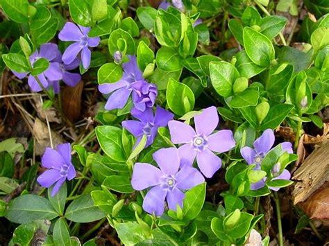 significato colore dei fiori significato pervinca significato dei fiori significato