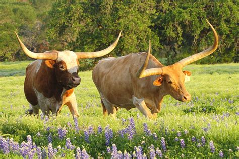 Home Decor Texas by Texas Longhorn Cattle Photograph By Andrew Mcinnes