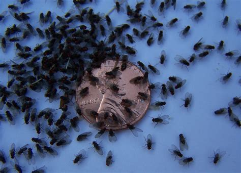 black gnats in bathroom image gallery small gnats