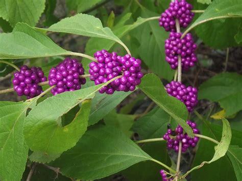 Best Full Sun Flowering Shrubs - american beautyberry callicarpa americana 20 seeds