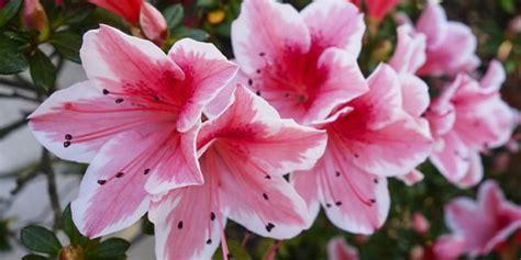 azalea vaso azalea come curare e coltivare le azalee in vaso e in