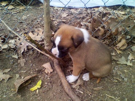 puppies for sale st louis boxer akc puppies st louis dogs for sale puppies for sale st louis 546345