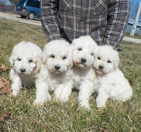 komondor puppies komondor fotos de cachorros da ra 231 a melhoramigo