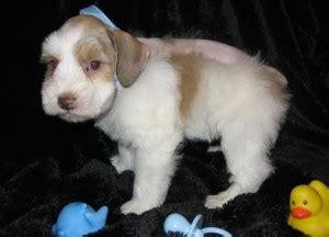 puppies billings mt dogs billings mt free classified ads