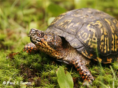 ct boating license age deep eastern box turtle fact sheet