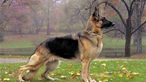 imagenes wallpaper de animales imagenes para fondo de pantalla de perros de raza pastor