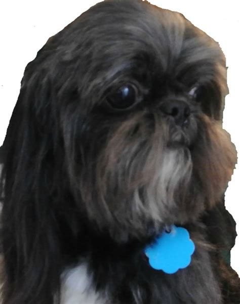 black white shih tzu shih tzu small breed