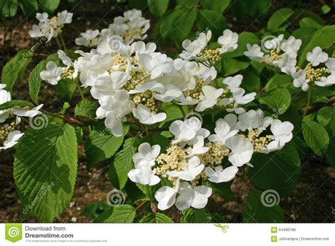 shrub with like flowers white flowering shrub stock photo image 64490186
