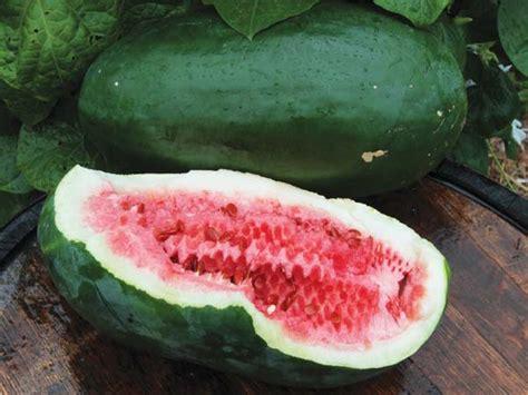 Us Mylk Melon By Brewell Original combe s ancient watermelon baker creek heirloom seeds