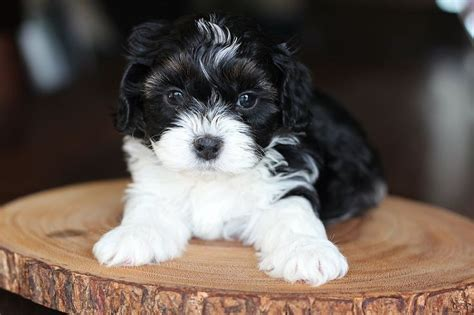 shih tzu breeders alberta bichon shih tzu shichon zuchon puppies for sale quality bred family dogs calgary