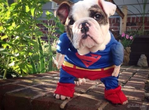 25 Pet Halloween Costumes That Are So Cute We Cant Even | 25 pet halloween costumes that are so cute we can t even