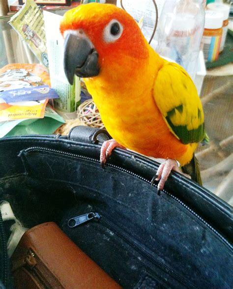 keeping your sun conure busy