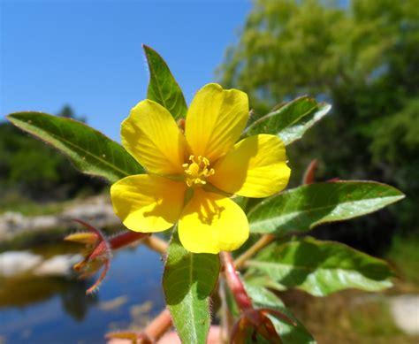 imagenes flores silvestres sus nombres tipos de flores