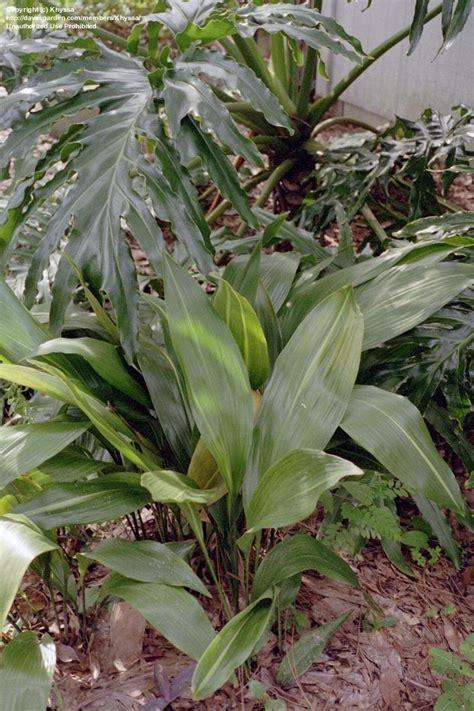 aspidistra elatior plantfiles pictures cast iron plant aspidistra elatior