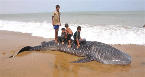 buy a boat in karachi whale shark washed up at hawksbay