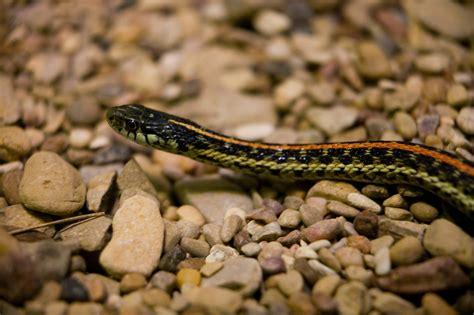 Garden Snake Oklahoma Oklahoma Farm Report Snakes On The Plains What To Do