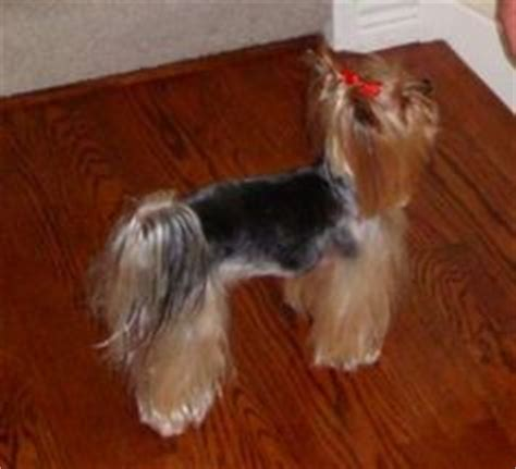 yorkie shine yorkie hairstyles on yorkie terriers and terrier haircut